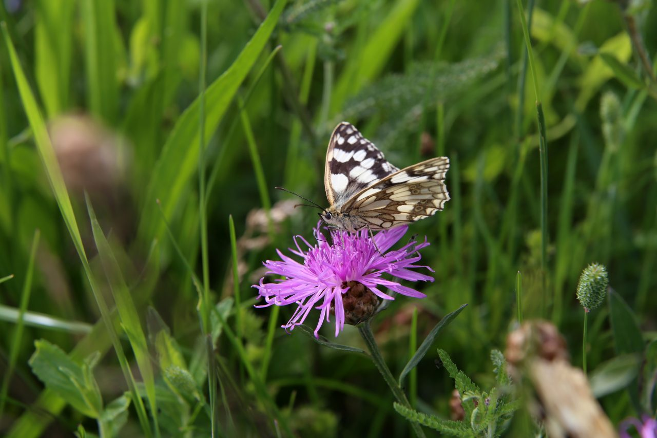 Marbled White Butterfly in the meadow at Swallowfields Glamping Retreat