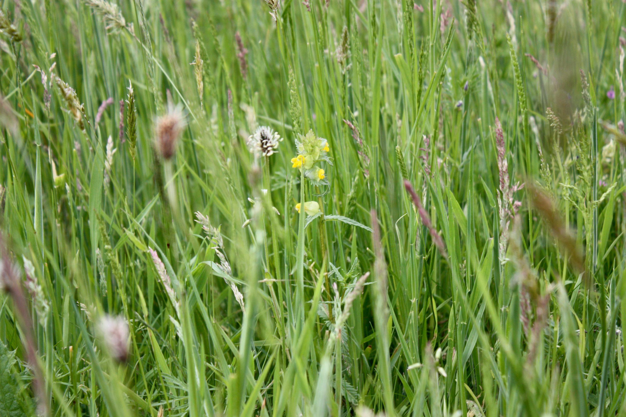 Wildflower meadow beginning to establish