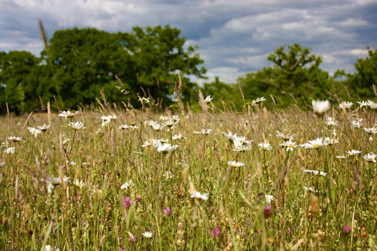 Wildflower meadow at Swallowfields Worcestershire
