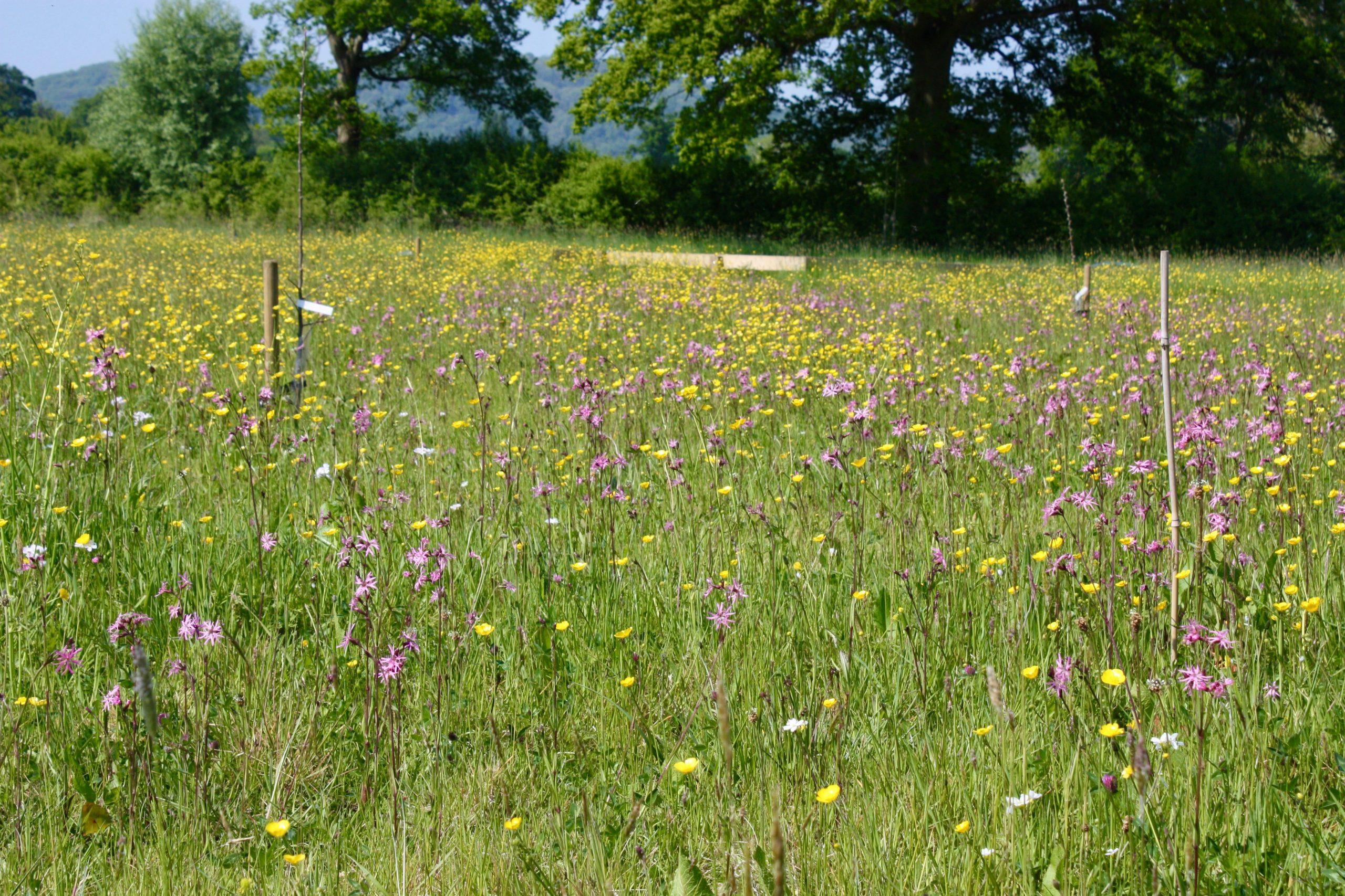 The wildflower meadow in bloom